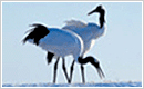 Gangwon-do Bird: Red-Crowned Crane