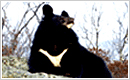 Gangwon-do Animal: Asiatic Black Bear